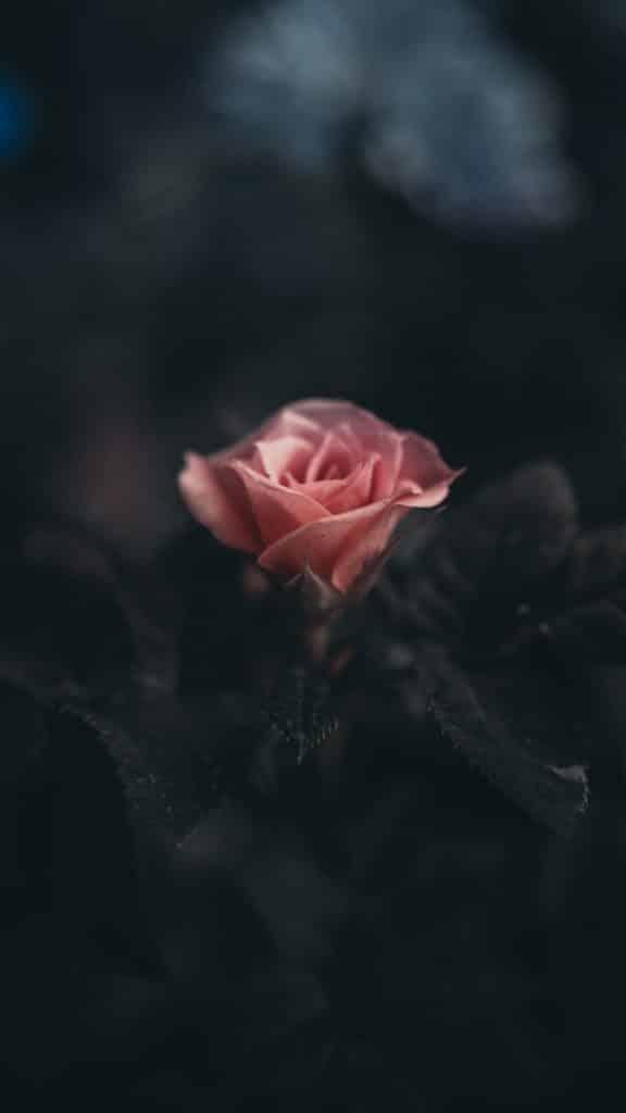 Rose de damas libido aphrodisiaque naturel